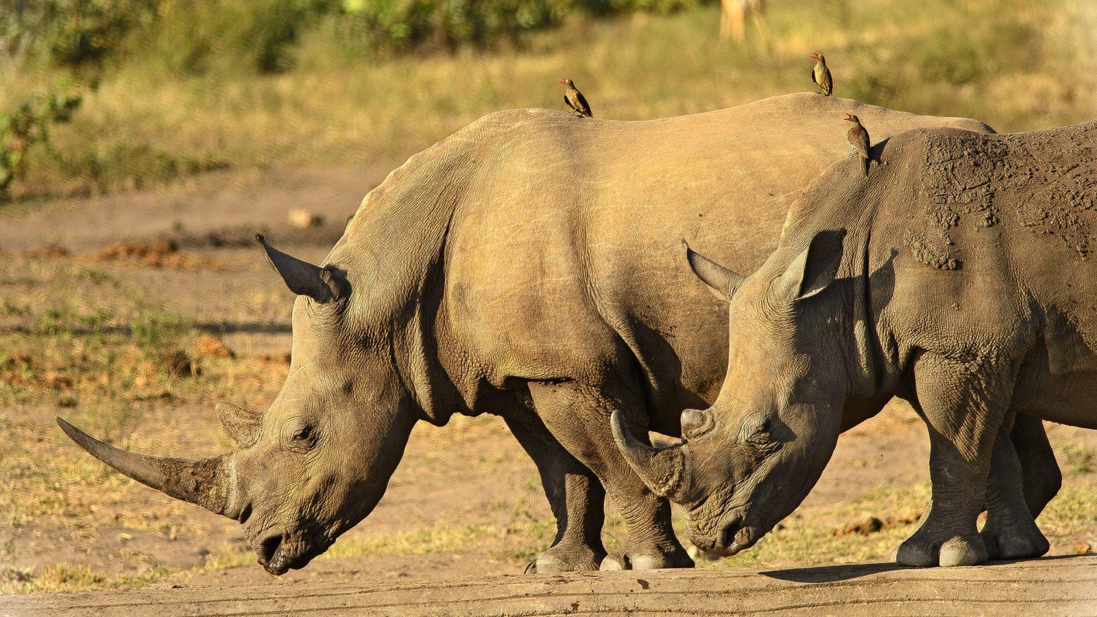 Simbiosi In Natura: Uccelli Posati Sul Dorso Di Due Rinoceronti